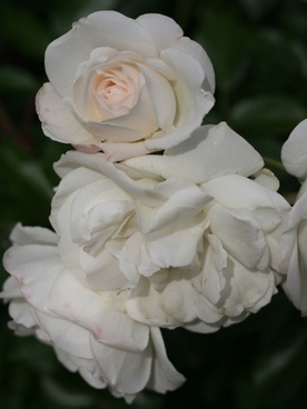 cluster of white roses