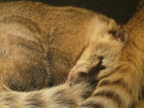 coati bear animal