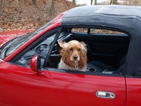 cocker spaniel dog car
