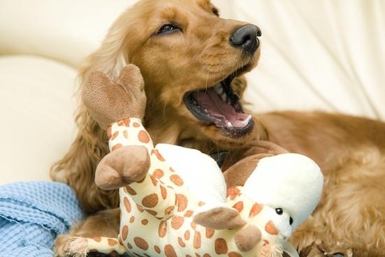 cocker spaniel dog yawn