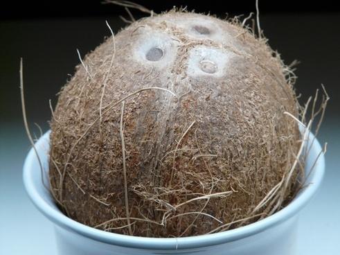 coconut germ holes coconuts