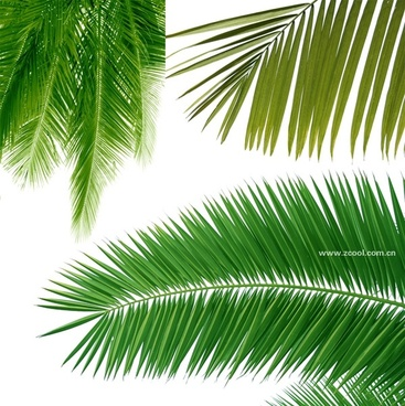 coconut tree leaves closeup highdefinition picture 3p