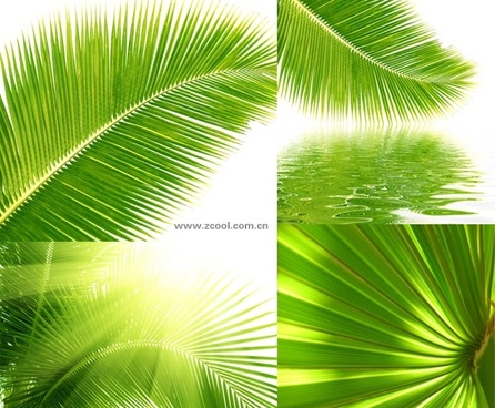coconut tree leaves closeup highdefinition picture 4p