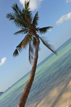 coconut tree sea coconut