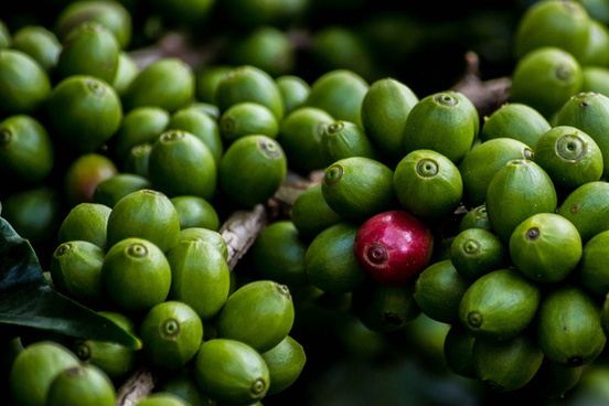 coffee berries
