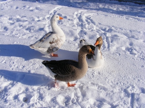 cold country geese