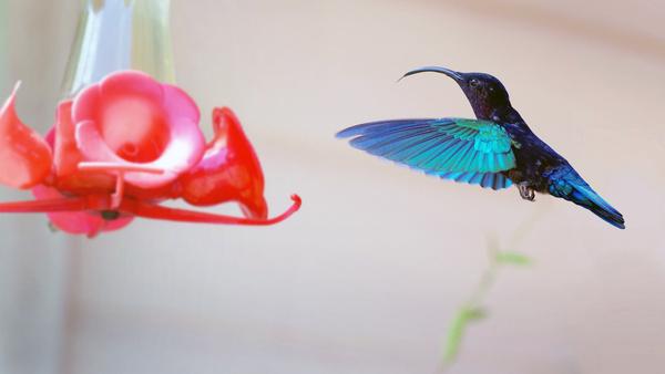 colibri re trait