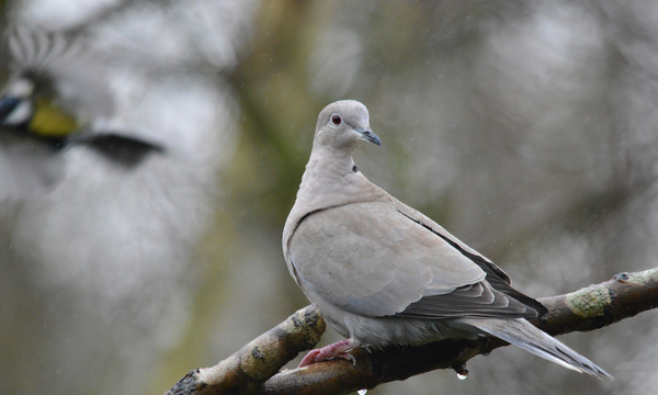 collard dove in the rain