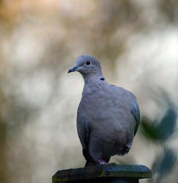 collard dove on fence post