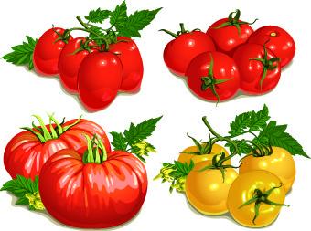 colored tomato vector