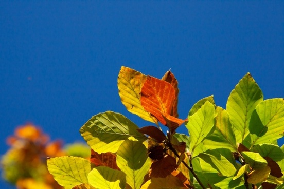 colorful beech leaves