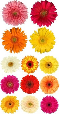 colorful daisies hd picture