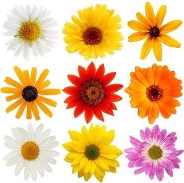 colorful daisies stock photo