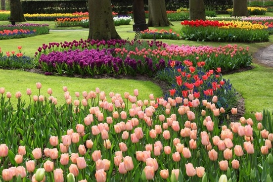 colorful flowers in keukenhof