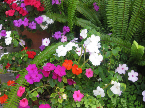 colorful impatien plants and ferns