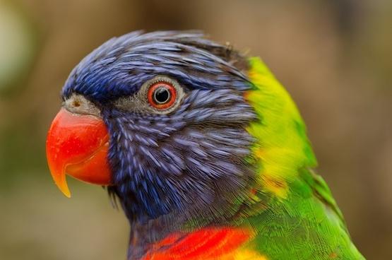 colorful lori bird