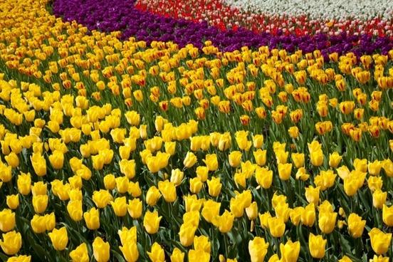 colorful tulip wallpaper