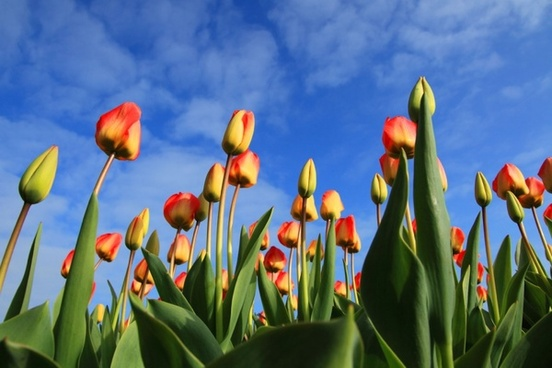 colorful tulips and blue sky