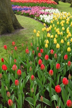 colorful tulips and hyacinths
