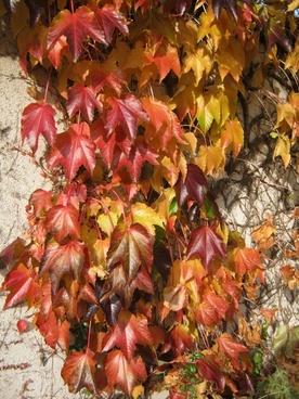 colorful vine autumn