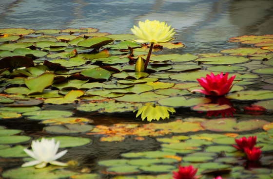 colorful water lillies