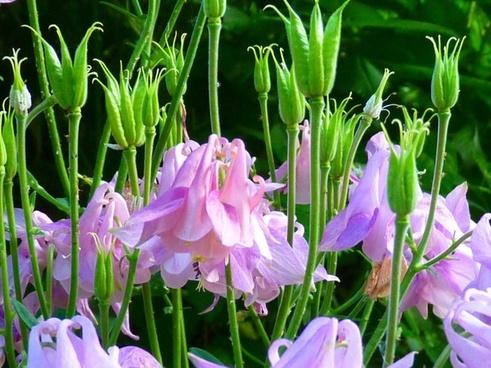 columbine flower seed capsules