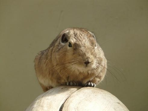 comb-finger gundi rodent
