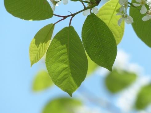 common bird cherry leaves green