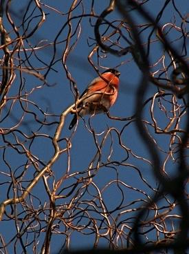 common bullfinch bird branch