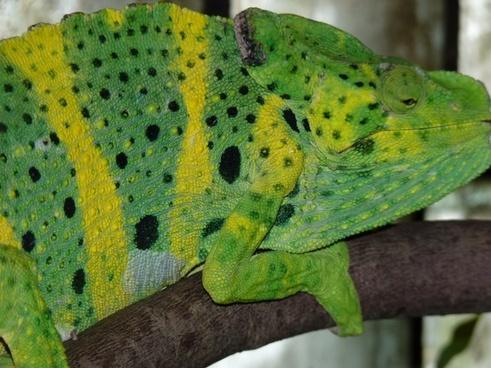 common chameleon european chameleon chamaeleo chamaeleon