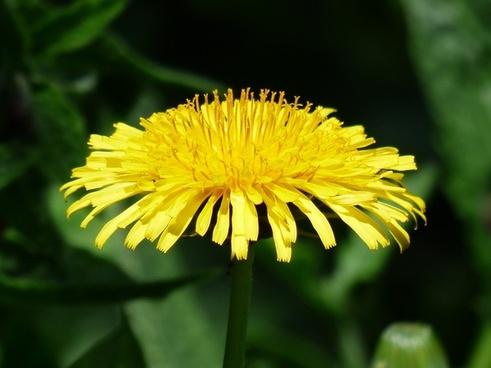 common dandelion dandelion flower