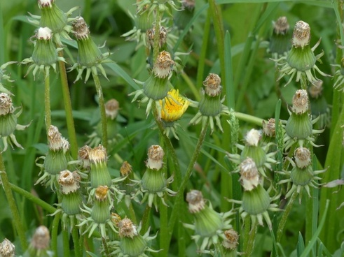 common dandelion pointed flower inflorescence