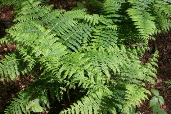 common fern