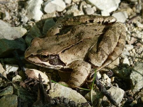 common frog frog amphibian