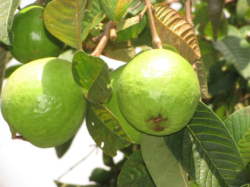 common guava