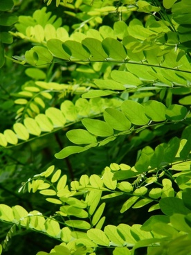 common maple robinia pseudoacacia robinia