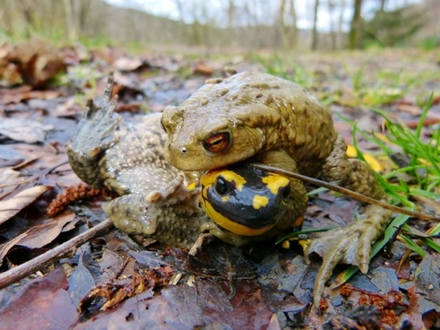 common toad fire salamander mating season