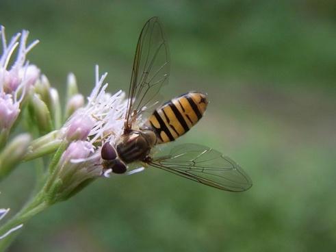 common winterschwebfliege episyrphus balteatus insect