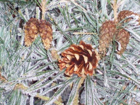 cones on a frozen twig