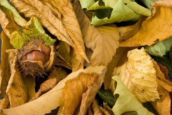 conker tree seasonal