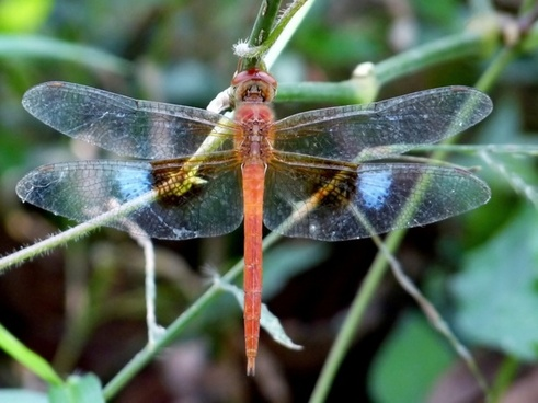 coral-tailed cloudwing dragonfly insect