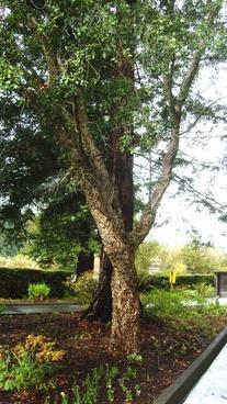 cork tree landscape