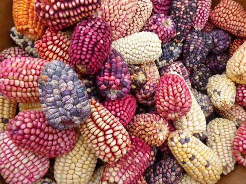 corn colorful mais maize varieties