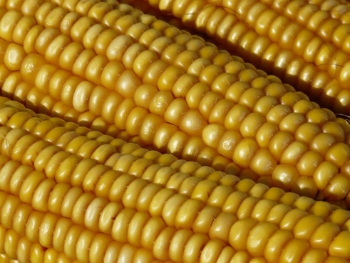 corn corn on the cob corn kernels