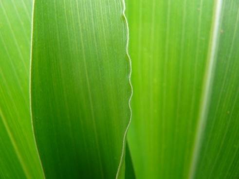corn leaf green close
