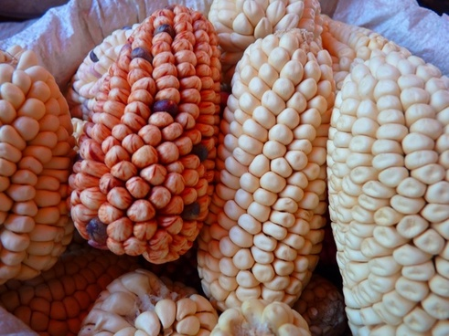 corn maize varieties cereals