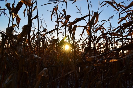 corn sun rays