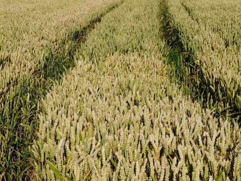 cornfield field agriculture