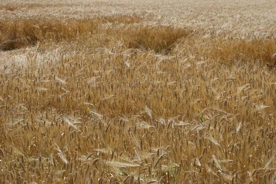 cornfield summer plants