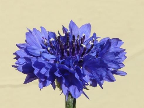 cornflower blue flower